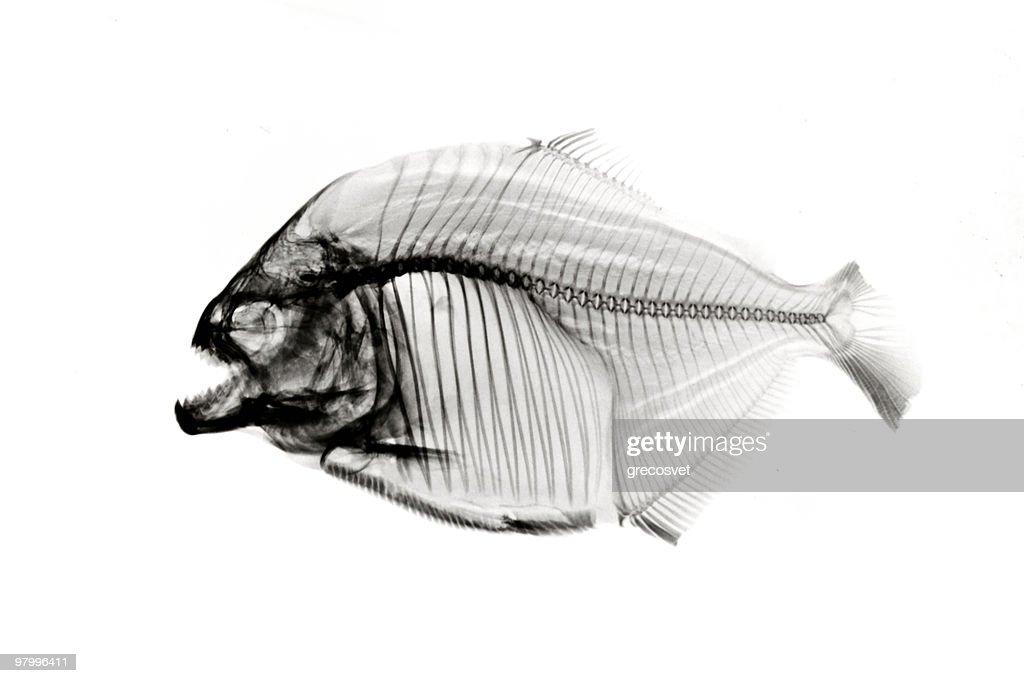 Piranha  x-ray on white : Stock Photo