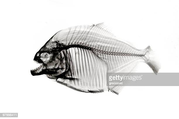 Piranha  x-ray on white