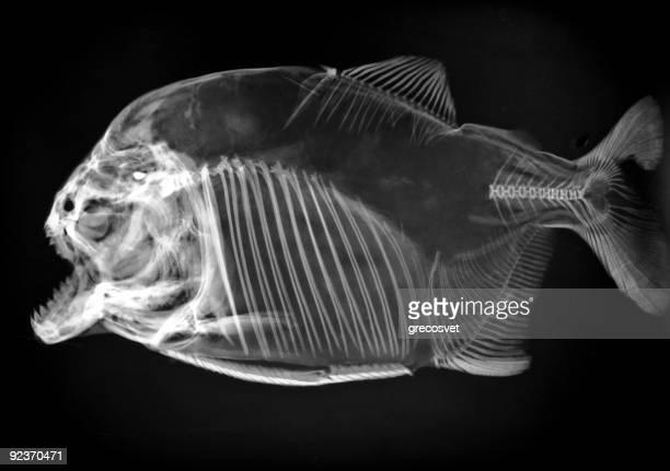 Piranha x-ray