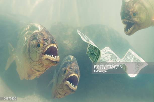 Piranhas about to attack Money