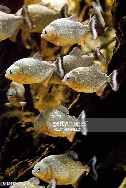 Piranhas are seen at the aquarium at Explora Park on December 31 in Medellin, Antioquia department, Colombia. The 2,200 square meters aquarium holds...