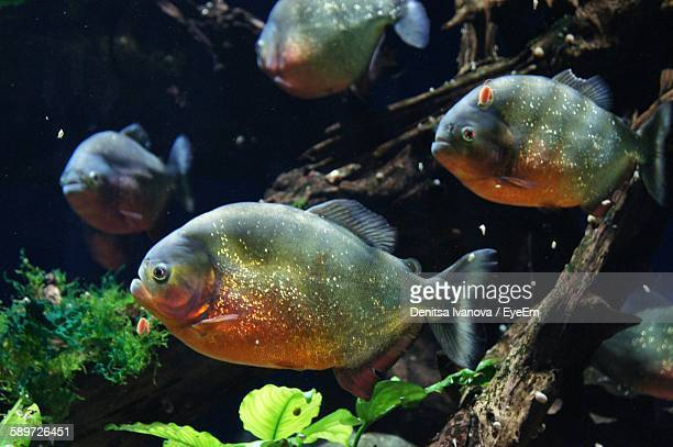 Piranhas Swimming Underwater