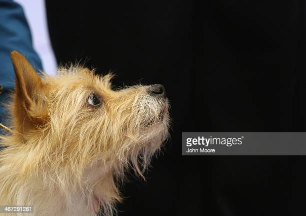 Pirata a Portuguese Podengo Pequeno stands on display as a new breed of dog elligible to compete in the 138th Westminster Kennel Club Dog Show on...