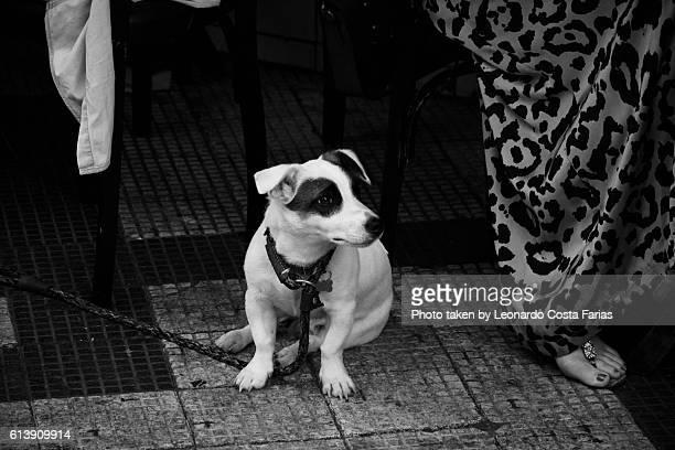 Pirate dog