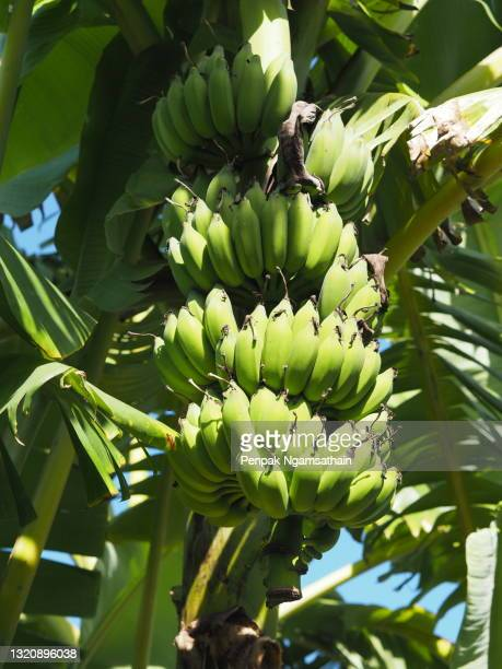 pisang awak cultivated banana, dwarf namwah ducasse favourite dessert cultivar grown banana blossom and results flower fruit on tree in garden on blurred of nature background - banana tree stock pictures, royalty-free photos & images