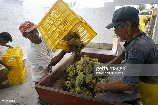 TO GO WITH AFP STORY A worker empties a basket of grapes into a crusher to make pisco in the Fundo San Felipe in Pisco some 300 km south of Lima 23...