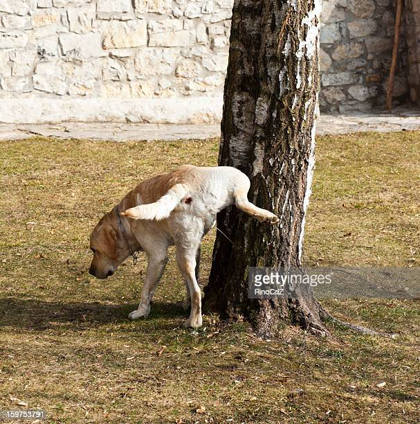 pissing dog - urinating stock pictures, royalty-free photos & images