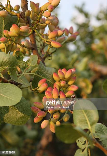pistachio tree, bronte, sicily, italy - pistachio tree stock photos and pictures