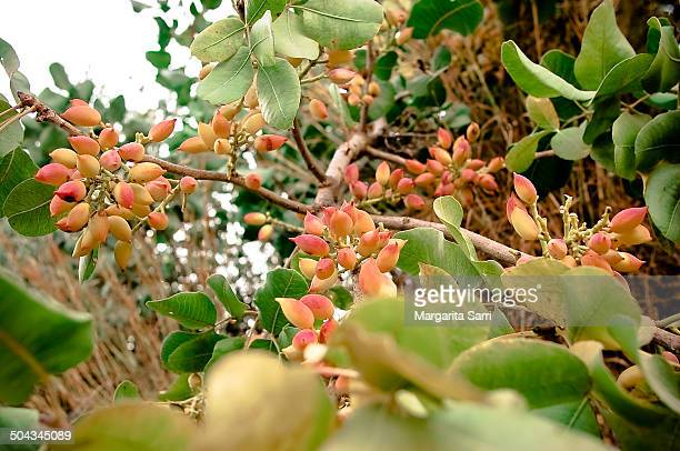 pistachio tree - pistachio tree stock photos and pictures