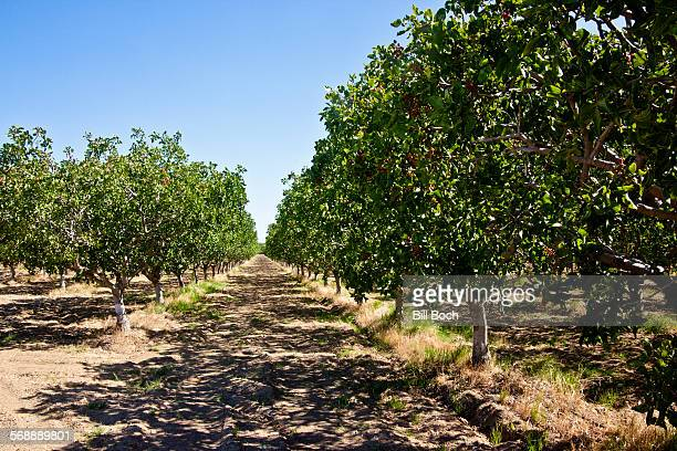 pistachio trees in orchard - pistachio tree stock photos and pictures