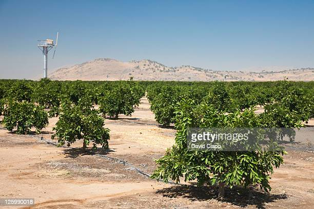 pistachio trees (pistacia vera kerman) near fresno in fresno county, central california, sierra nevada, california, united states of america - pistachio tree stock photos and pictures