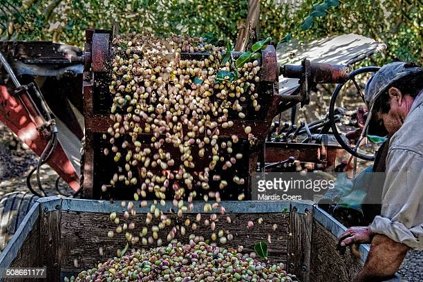 Pistachios coming off the conveyor of the specialized nut harvester and into a storage container, Yolo, California.