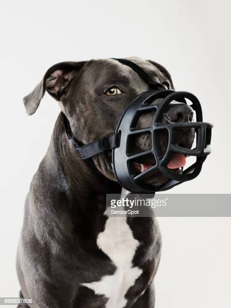 pit bull dog guarding with muzzle - restraint muzzle stock photos and pictures