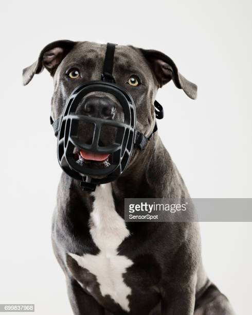 pit bull dog portrait with muzzle - restraint muzzle stock photos and pictures