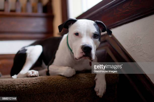 Pit Bull Dog Relaxing on Stairs, Close-Up