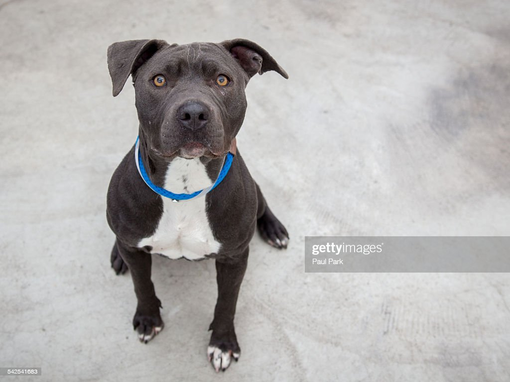 Pit bull dog sitting : Stock Photo