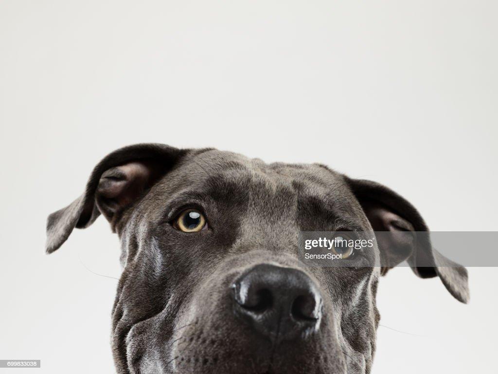 Pit bull dog staring portrait : Stock Photo