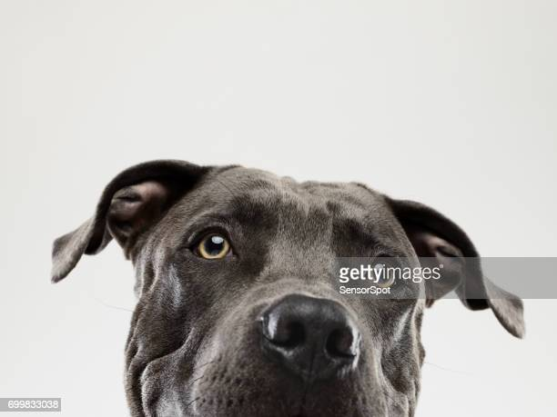pit bull dog staring portrait - big eyes stock photos and pictures