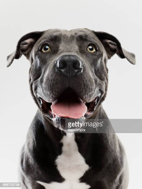 Pit bull dog studio portrait