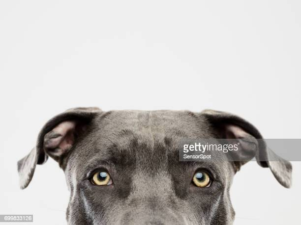 pit bull dog studio portrait - seeing eye dog stock photos and pictures