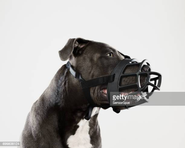 pit bull dog with big muzzle - restraint muzzle stock photos and pictures