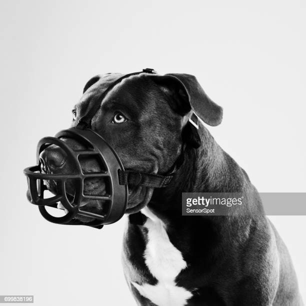 pit bull dog with big muzzle portrait - restraint muzzle stock photos and pictures