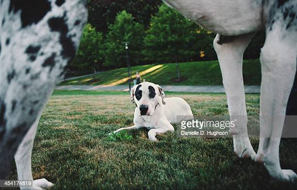 pit bull dwarfed by a great dane - great dane stock pictures, royalty-free photos & images
