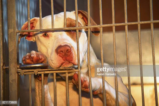 Pit Bull in an Animal Shelter