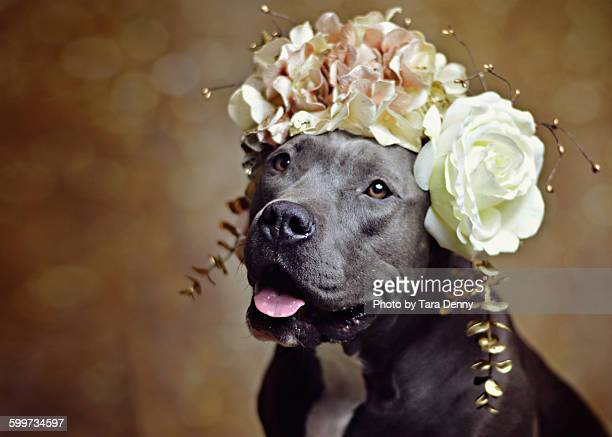 Pit Bull in Flower Crown