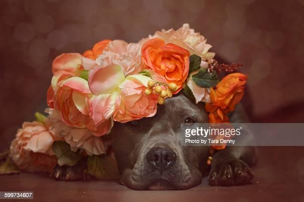 Pit Bull in Orange Florals
