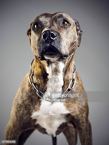 pit bull - pit bull terrier stock photos and pictures