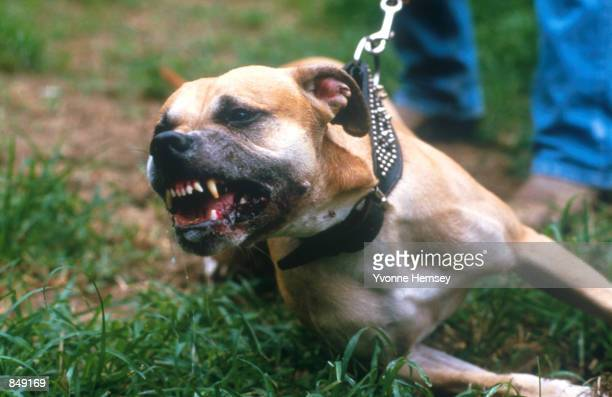 Pit Bull Pit bears it's teeth for attack July 14 1987 in New York City Bull dogs and their owners make up a special subculture in the American...