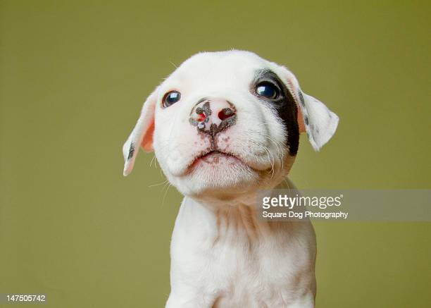 pit bull puppy - pit bull terrier stock photos and pictures