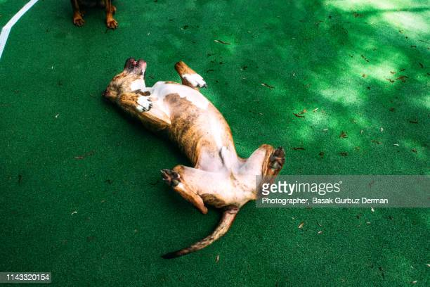 a pit bull terrier dog lying down on his back on synthetic tartan track ground - lying down stock-fotos und bilder
