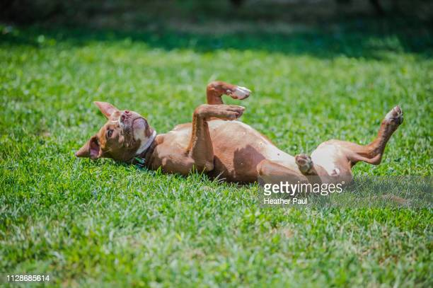 pit bull terrier dog rolling around in the grass - pit bull photos et images de collection