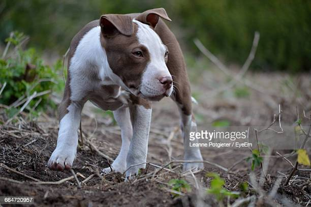 Pit Bull Terrier Puppy On Field
