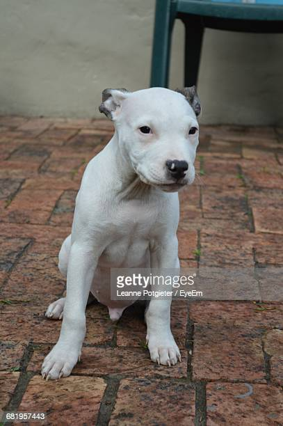 Pit Bull Terrier Puppy Sitting On Footpath