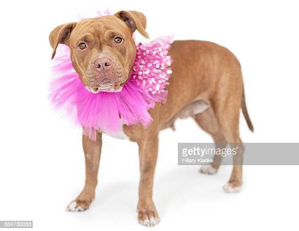 Pit bull wearing pink tutu