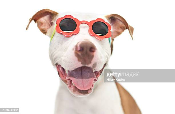 Pit Bull wearing sunglasses