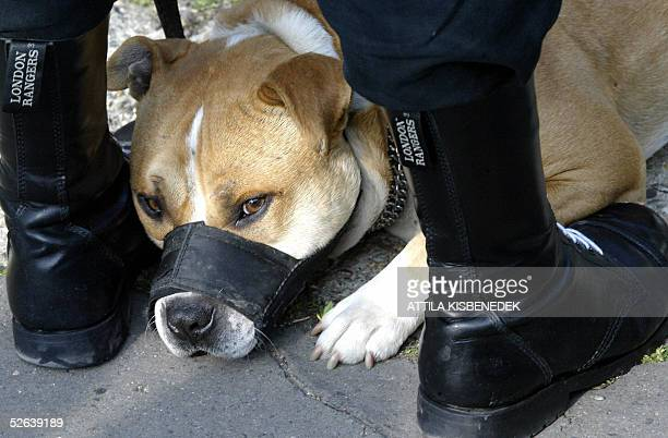 A pitbull dog lays between legs of its owner a Hungarian sympathizer of the organizer 'Ver es Becsulet Egyesulet' in front of the German Embassy...