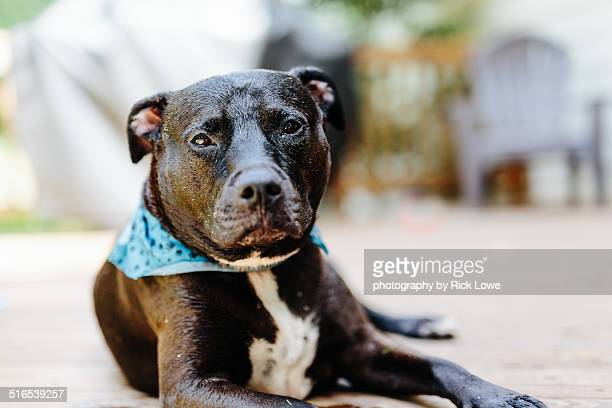 pitbull dog looking at camera - american pit bull terrier stock pictures, royalty-free photos & images