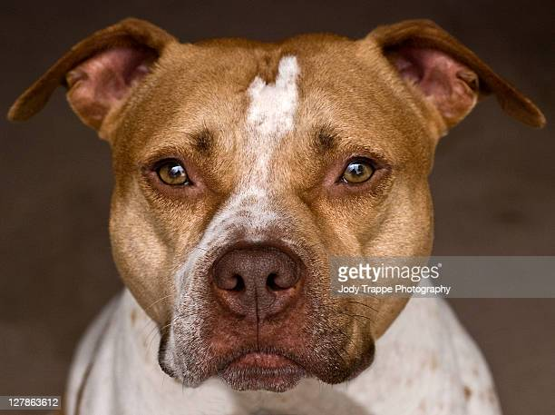 pitbull dog - pit bull terrier stock photos and pictures