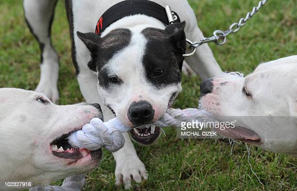 Pitbull dogs play with a rope during the Pitbull show on June 19 2010 in Prague AFP PHOTO / MICHAL CIZEK