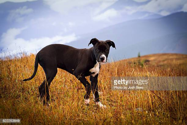 pitbull hiking - american pit bull terrier stock pictures, royalty-free photos & images