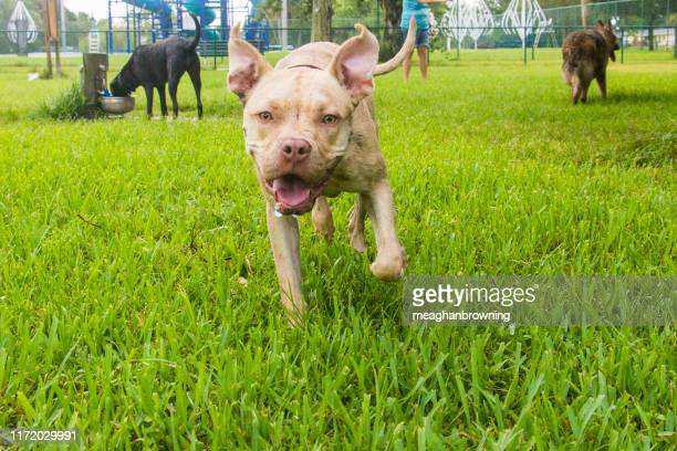 pitbull mix dog running in a dog park, united states - pit bull photos et images de collection