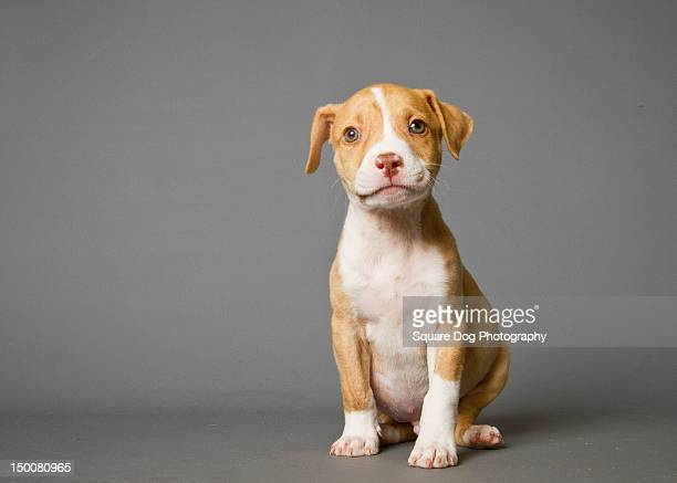 Pit-bull puppy