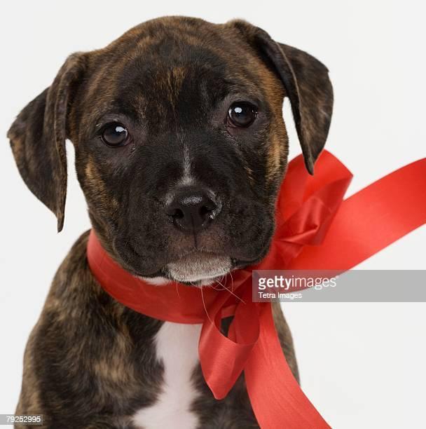 Pitbull puppy wearing red ribbon