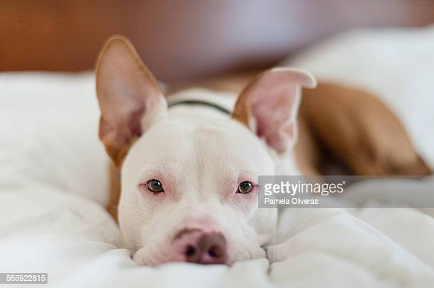 a pitbull relaxing - american pit bull terrier stock pictures, royalty-free photos & images