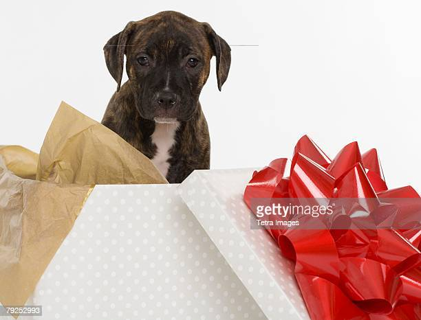 Pitbull Terrier puppy in gift box