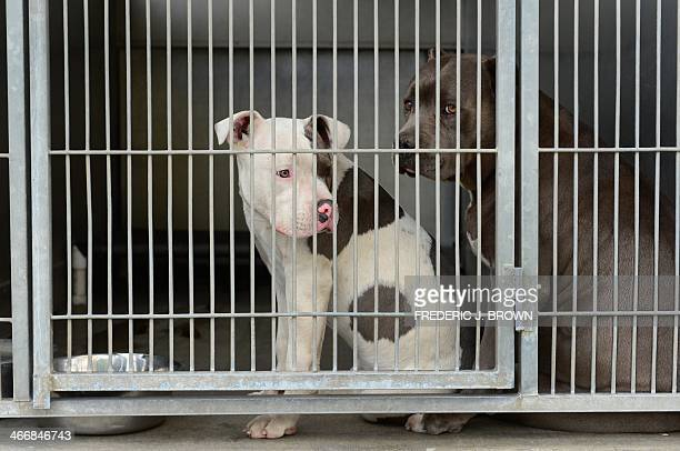 Pit Bull Terrier Stock Photos And Pictures Getty Images